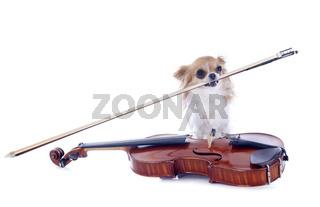 violin and chihuahua