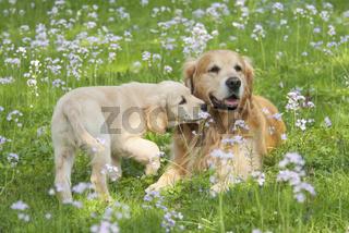 Zwei Golden Retriever, jung und alt