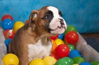 Boxer dog puppy in ball pond