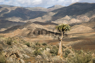 Berglandschaft mit Aloe pillansii, Richtersveld