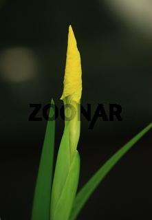 gelbe Sumpf- Schwertlilie, Blütenknospe