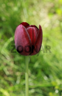 tulpe, rote