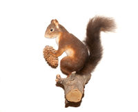 eurasian red squirrel on white background