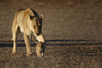 Baby Lion with lionesses, Kalahari
