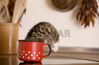 katze / kitten leckt milch aus milchtopf, cat / kitten licking milk from milk-pot