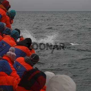 Watching a humpback whale (Megaptera novaeangliae) on a tour on the Skjálfandi Bay near Húsavík