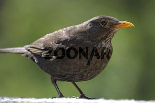 Blackbird / Amsel