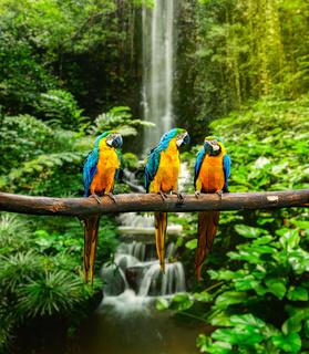 Blue-and-Yellow Macaw (Ara ararauna)