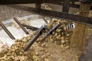 Rübenreinigung in einer Zuckerfabrik