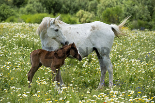 Araber Stute mit neugeborenem Fohlen