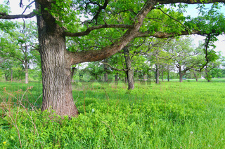Oak Savanna in Illinois