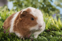 guinea pig baby sitting in the gras