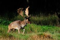 Fallow-buck