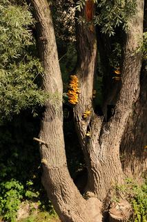 Salix alba, Silberweide mit Pilz, Schwefelporling