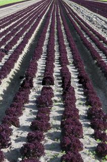 Salatfeld mit Lollo Rosso