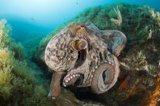 Gemeiner Oktopus am Riff