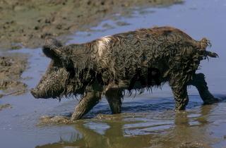 Mangalica-Schwein