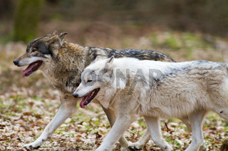 Two eastern wolves