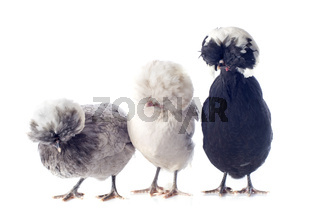 dutch bantam