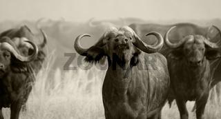 Wild African Buffalo