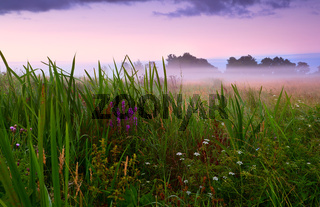 flowering meadow in fog