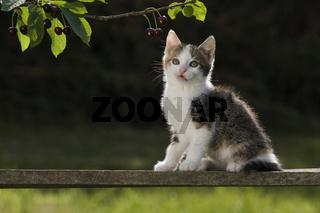 Katze/Kaetzchen auf Holzbrett im Gegenlicht, Cat/kitten on wooden board in back light