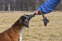 playing Boxer dog with people