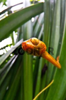 Close up of the poisonous cat eye tree snake in Costa Rica as it searches the reeds for frog eggs to feed on.