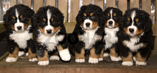 Bernese mountain dog puppets are finaly home