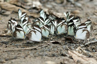 Mud-puddling Black-banded Whites butterflies