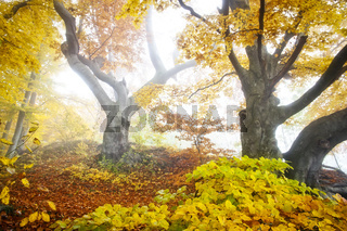 yellow autumn forest
