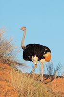 Male ostrich