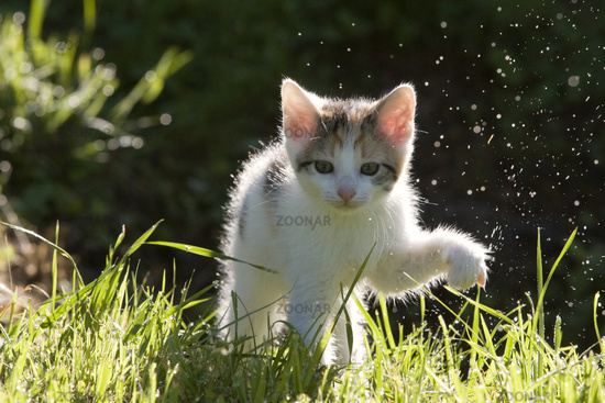 kitten in the back-light with dew drops