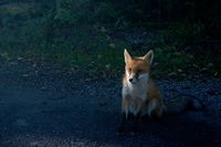 Young fox on the side of the road