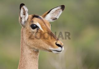 Impala Antilope
