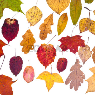 leaf fall from pied autumn leaves