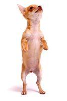 Chihuahua Welpe Dancing