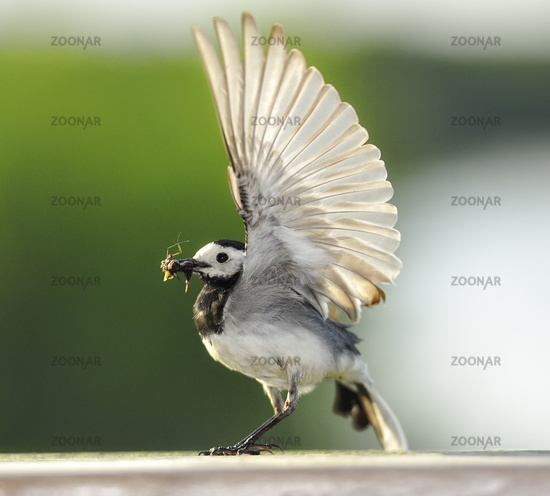 White Wagtail Motacilla alba perched on a wood