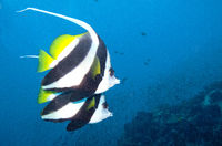bannerfish swim by