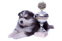 liegender Husky Welpe mit Pokal