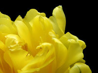 yellow tulip close up