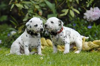 Zwei Dalmatiner Welpen, drei Wochen alt