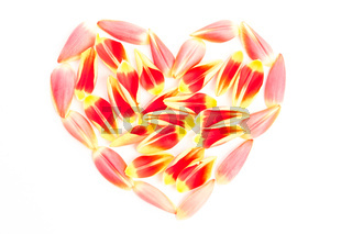Tulips petal in a heart shape