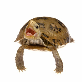 cute pet turtle tortoise isolated