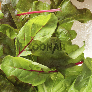 Lettuce close-up