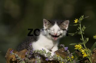 Katze, Kaetzchen lachend auf Zaun, Cat, kitten laughing on a fence