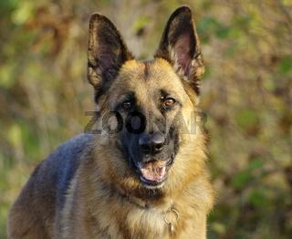 Deutscher Schaeferhund / Portrait