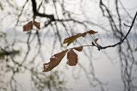 Kastanie im Herbst