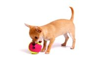 Chihuahua Puppy plays with ball