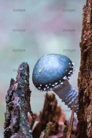 Verdigris agaric